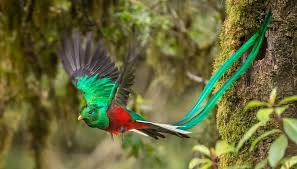 flying quetzal